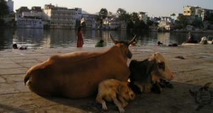 cows_are_holy_india